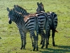 Zeal of Zebras